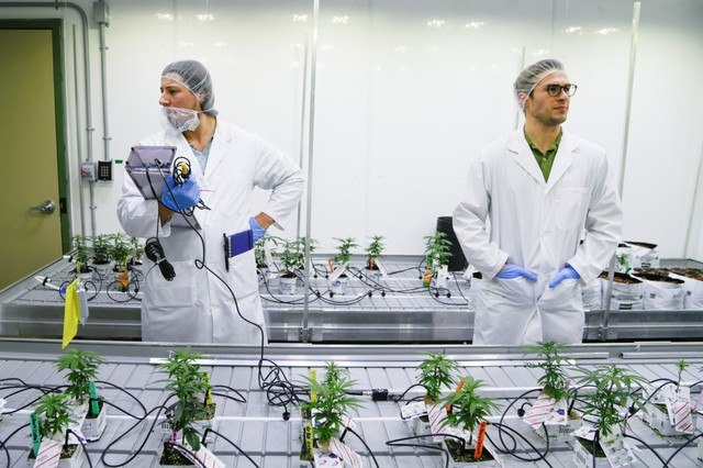 application to grow cannabis in canada
